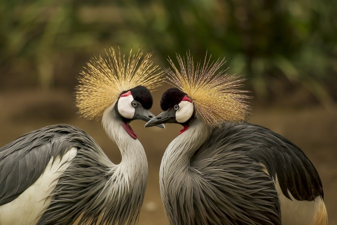 grey-crowned-crane-540657_1920
